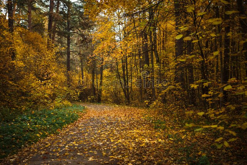 Golden autumn, yellow trees in sunlight, leaves underfoot. royalty free stock photos