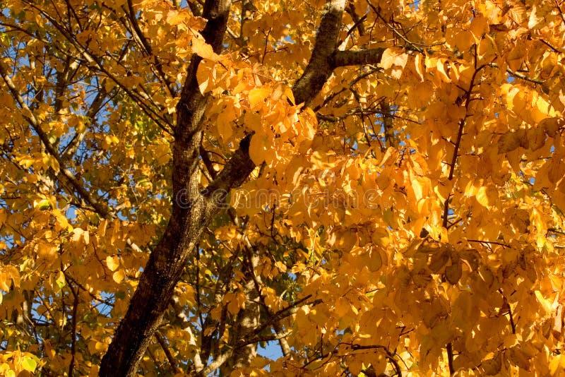 Golden Autumnal foliage royalty free stock photos