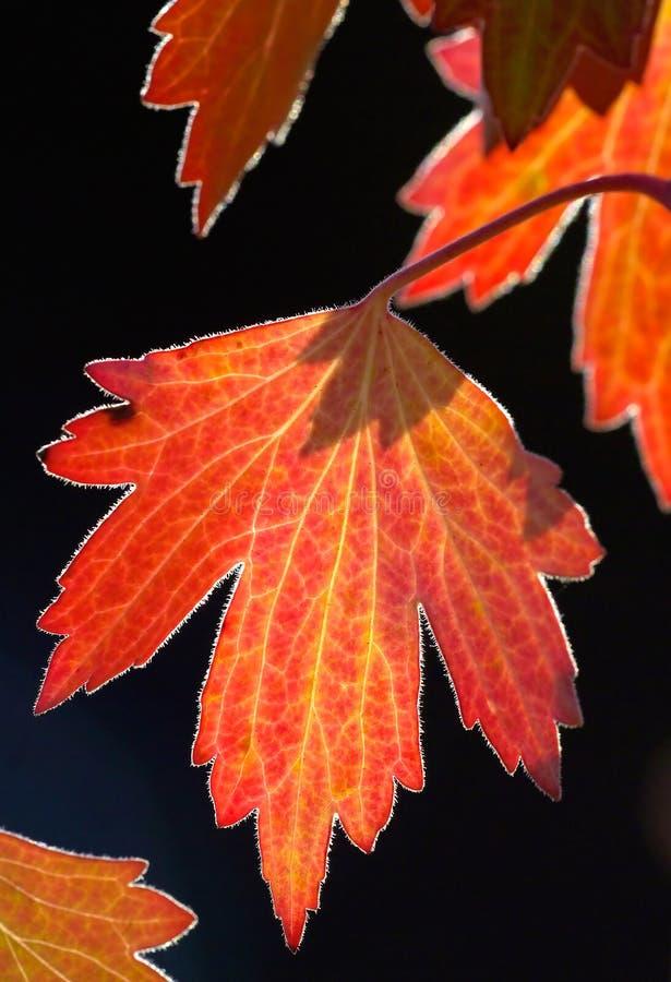 Free Golden Backlit Fall Leaf Royalty Free Stock Image - 1305136