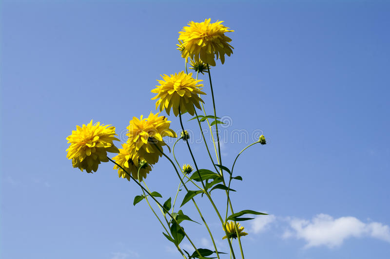 Golden balls of flowers - Rudbeckia lachinata on a blurred background of blue sky with white clouds. stock images