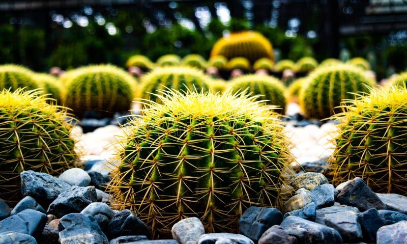 Golden Barrel , beautiful big cactus growing in garden at Nongnuch garden ,Suttahip , Chonburi province ,landmark of Thailand. royalty free stock image