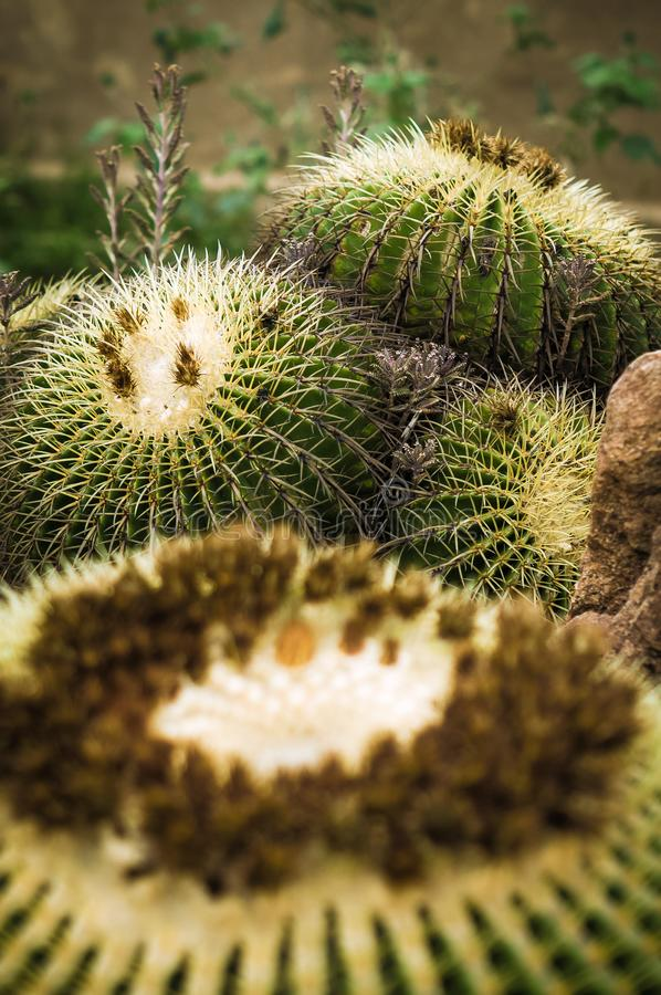Golden barrel cactus cluster well known species of cactus, endemic to central Mexico widely cultivated as an ornamental plant stock image