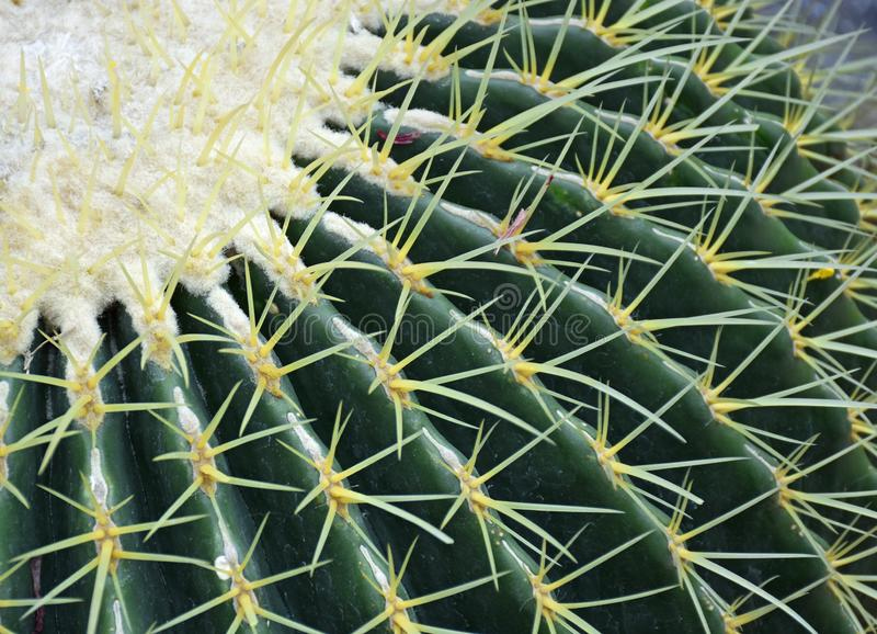 Golden Barrel Cactus in the Desert stock photo