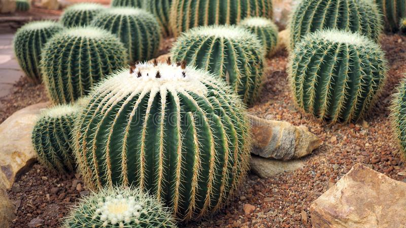 Golden barrel cactus or Echinocactus grusonii in the botanic garden. Close up of a round green cactaceae with spikes. Echinocactu royalty free stock photo