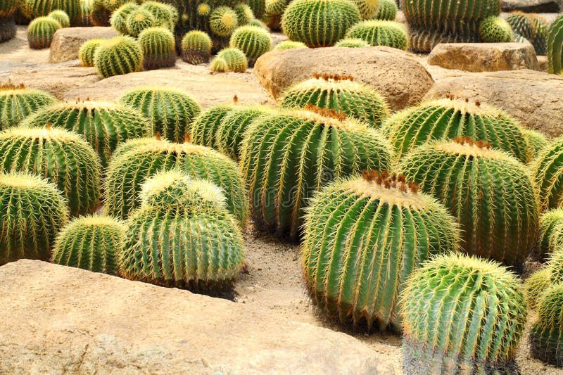 The Golden Barrel Cactus  Field Stock Photography