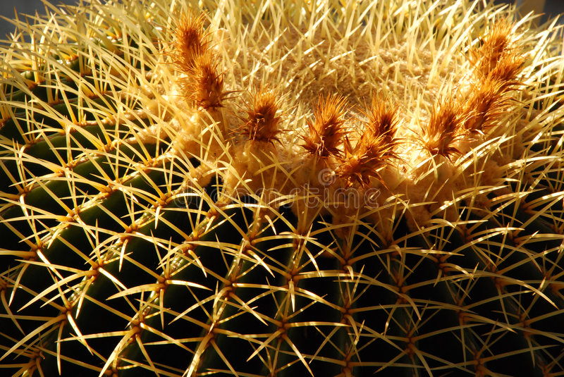 Download Golden Barrel Cactus With Flowers Stock Image - Image: 1808493