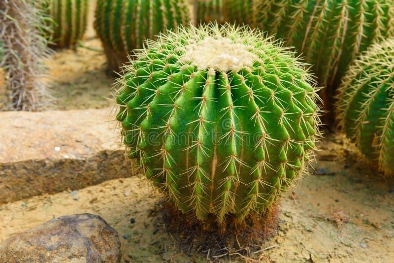 Golden Barrel Cactus royalty free stock photos