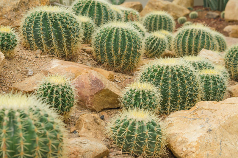 Golden Barrel Cactus. In greenhouse royalty free stock photo