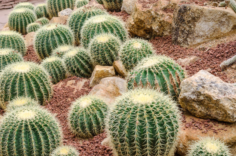 Golden Barrel Cactus plant royalty free stock images
