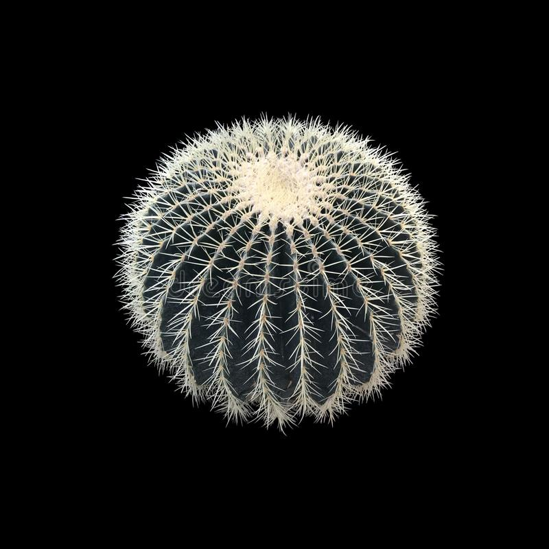 Golden barrel cactus. round plant isolated on black background. golden ball. mother-in-law`s cushion. Golden barrel cactus. round plant isolated on black royalty free stock images