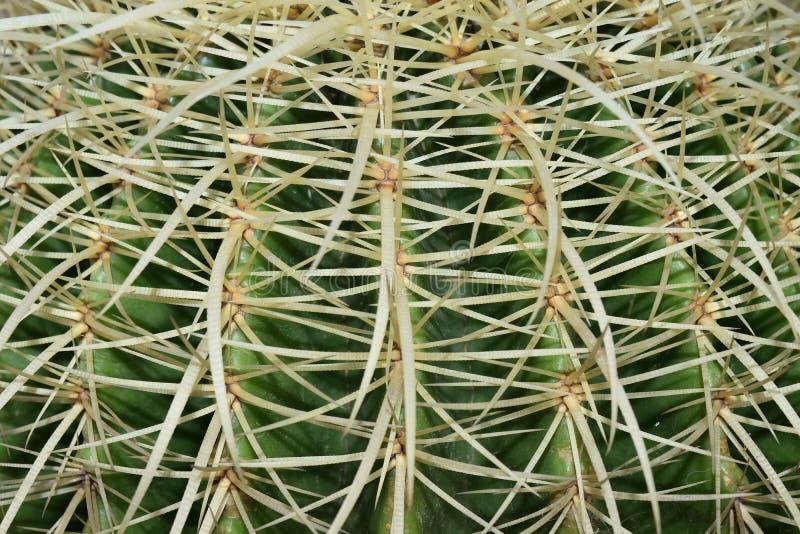Golden barrel. Close up of golden barrel cactus plant royalty free stock image