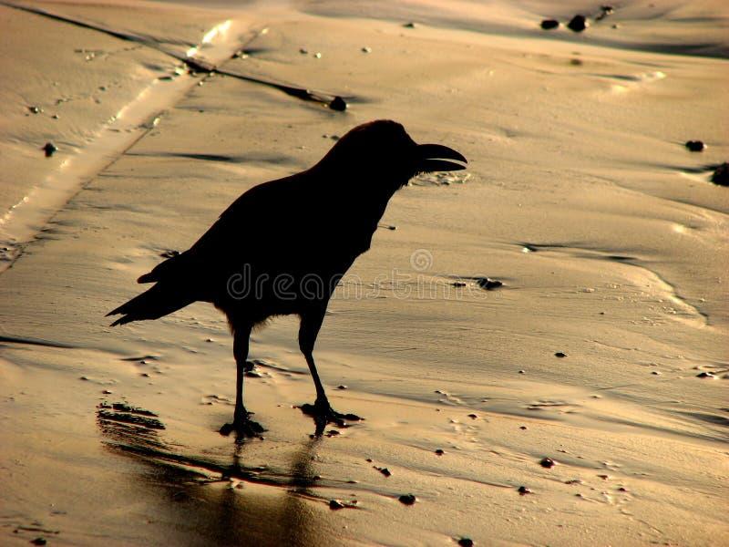 Golden Beach Crow royalty free stock photos