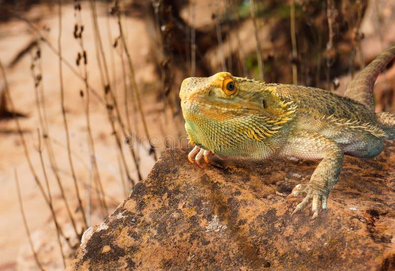 Golden bearded dragon lizard sunbathing nature stock photos