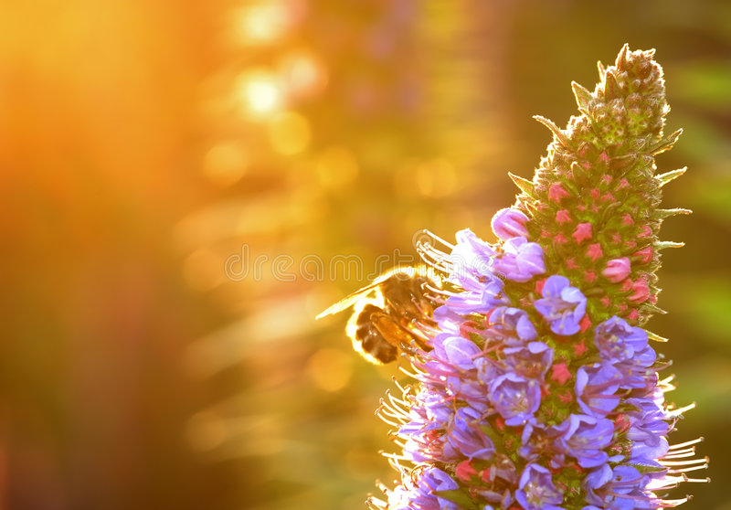 Golden Bee Royalty Free Stock Image
