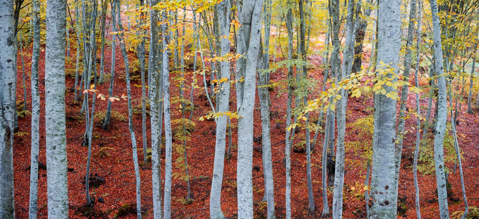 Golden beech forest. During autumn royalty free stock photography
