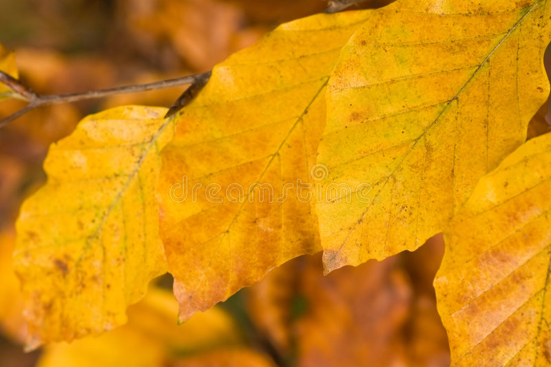 Golden beechleaf. Leaves are turning gold in november before falling to the ground royalty free stock images