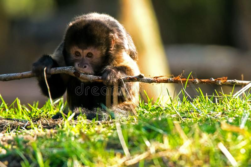 Golden-bellied capuchin monkey gnawing on a stick. A golden-bellied capuchin monkey gnawing on a stick, also known as yellow-breasted capuchin or buffy-headed royalty free stock photo