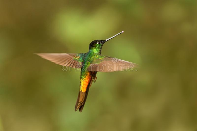Golden-bellied starfrontlet hovering in air,tropical forest,Colombia, bird sucking nectar from blossom in garden. Golden-bellied starfrontlet hovering in the air royalty free stock photography