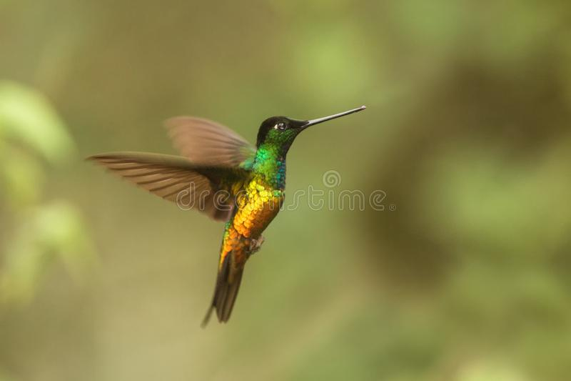 Golden-bellied starfrontlet hovering in air,tropical forest,Colombia, bird sucking nectar from blossom in garden. Golden-bellied starfrontlet hovering in the air royalty free stock photo