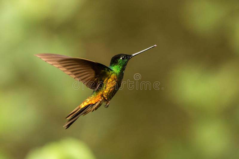 Golden-bellied starfrontlet hovering in air,tropical forest,Colombia, bird sucking nectar from blossom in garden. Golden-bellied starfrontlet hovering in the air stock photography