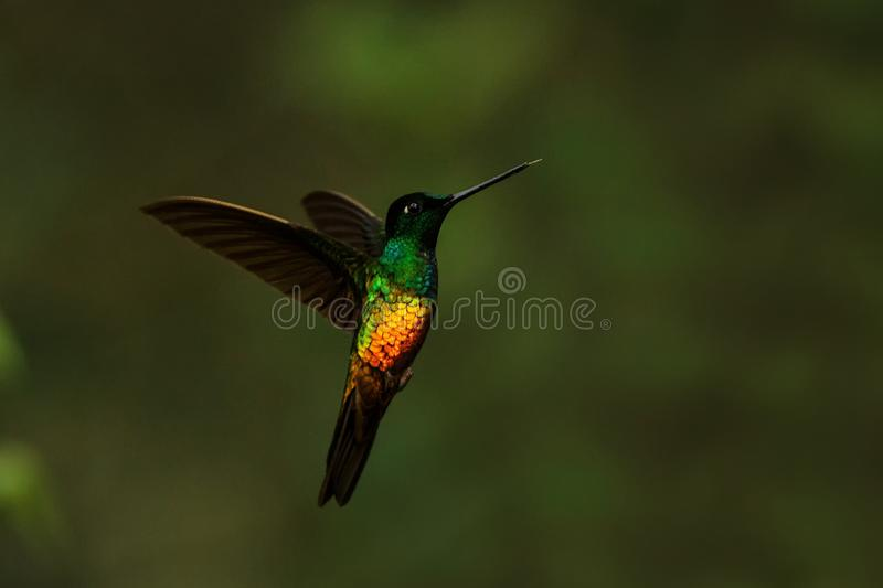 Golden-bellied starfrontlet hovering in air,tropical forest,Colombia, bird sucking nectar from blossom in garden. Beautiful hummingbird with outstretched wings stock photos