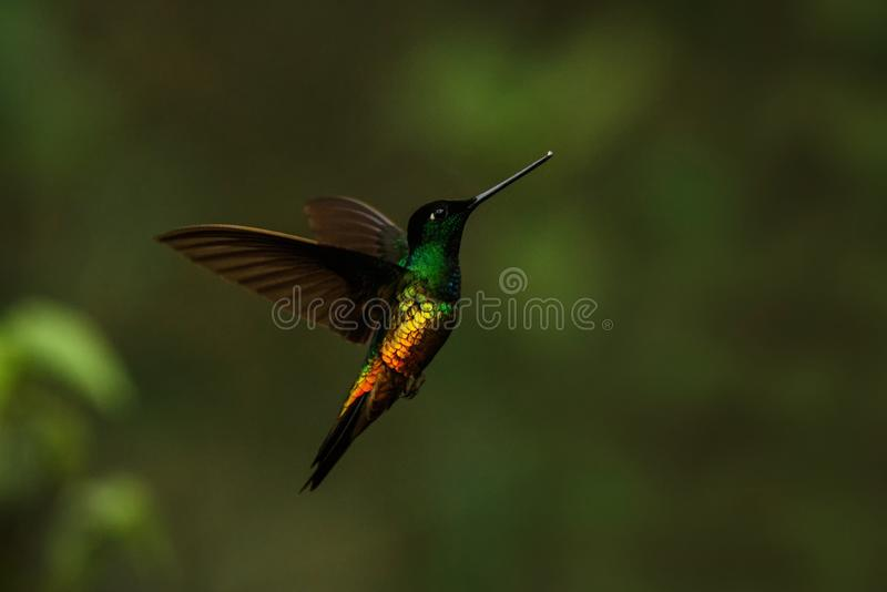 Golden-bellied starfrontlet hovering in air,tropical forest,Colombia, bird sucking nectar from blossom in garden. Beautiful hummingbird with outstretched wings stock photography