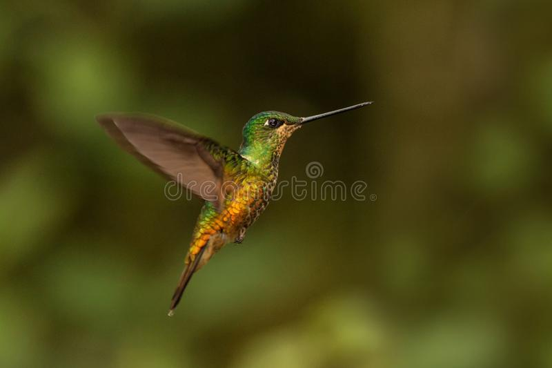 Golden-bellied starfrontlet hovering in the air,tropical forest, Colombia, bird sucking nectar from blossom in garden. Beautiful hummingbird with outstretched stock photos