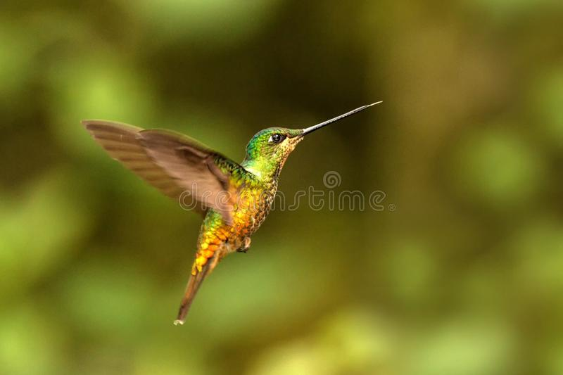 Golden-bellied starfrontlet hovering in the air,tropical forest, Colombia, bird sucking nectar from blossom in garden. Beautiful hummingbird with outstretched royalty free stock photos