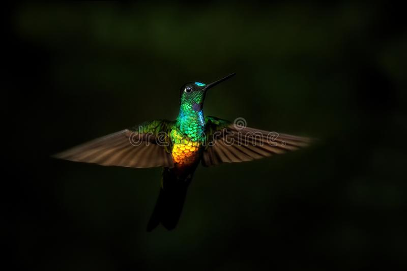 Golden-bellied starfrontlet hovering in air,tropical forest,Colombia, bird sucking nectar from blossom in garden. Beautiful hummingbird with outstretched wings stock photo