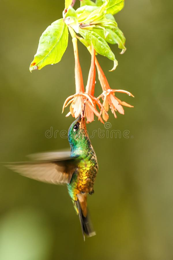 Golden-bellied starfrontlet hovering next to orange flower,tropical forest, Colombia, bird sucking nectar from blossom in garden. Beautiful hummingbird with stock photos