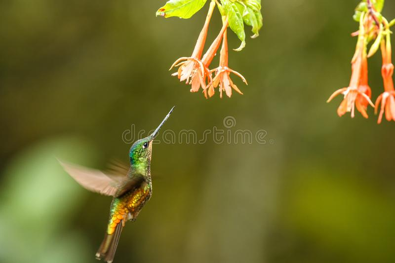 Golden-bellied starfrontlet hovering next to orange flower,tropical forest, Colombia, bird sucking nectar from blossom in garden. Beautiful hummingbird with royalty free stock photos