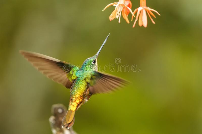 Golden-bellied starfrontlet hovering next to orange flower,tropical forest, Colombia, bird sucking nectar from blossom in garden. Beautiful hummingbird with stock image