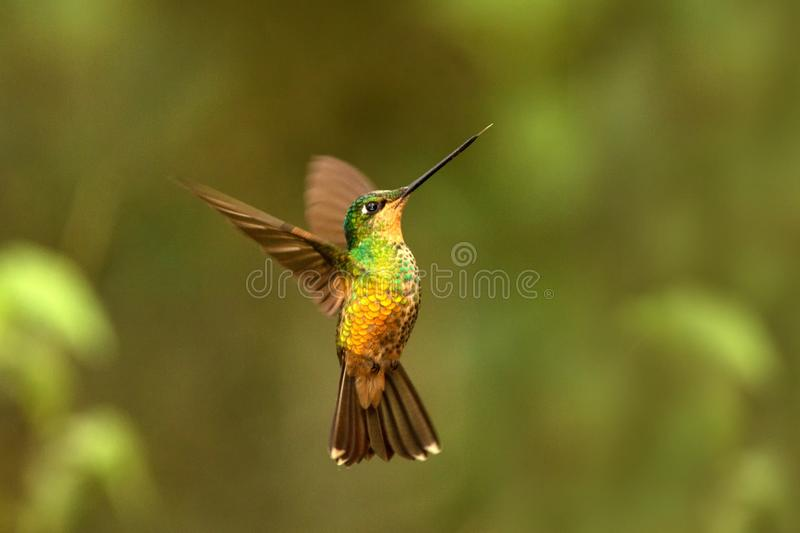 Golden-bellied starfrontlet hovering next to red flower,tropical forest, Colombia, bird sucking nectar from blossom in garden. Golden-bellied starfrontlet royalty free stock images