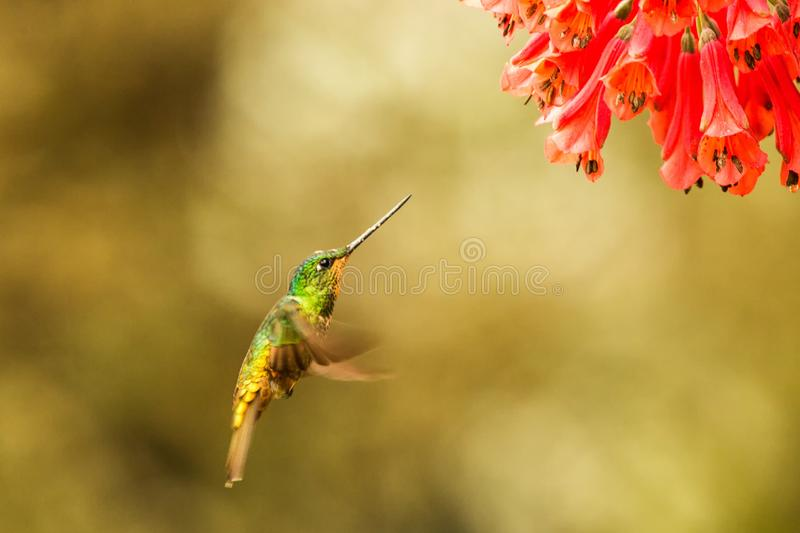 Golden-bellied starfrontlet hovering next to red flower,tropical forest, Colombia, bird sucking nectar from blossom in garden. Beautiful hummingbird with stock photo