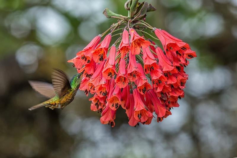 Golden-bellied starfrontlet hovering next to red flower,tropical forest, Colombia, bird sucking nectar from blossom in garden. Beautiful hummingbird with stock images