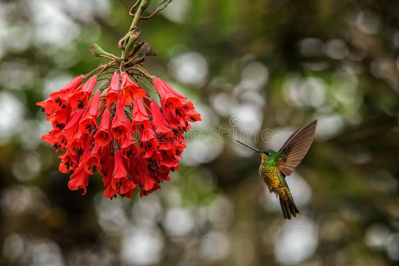 Golden-bellied starfrontlet hovering next to red flower,tropical forest, Colombia, bird sucking nectar from blossom in garden. Beautiful hummingbird with royalty free stock photography