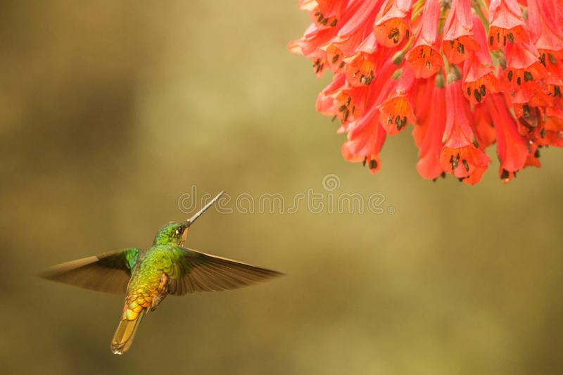 Golden-bellied starfrontlet hovering next to red flower,tropical forest, Colombia, bird sucking nectar from blossom in garden. Beautiful hummingbird with royalty free stock photo