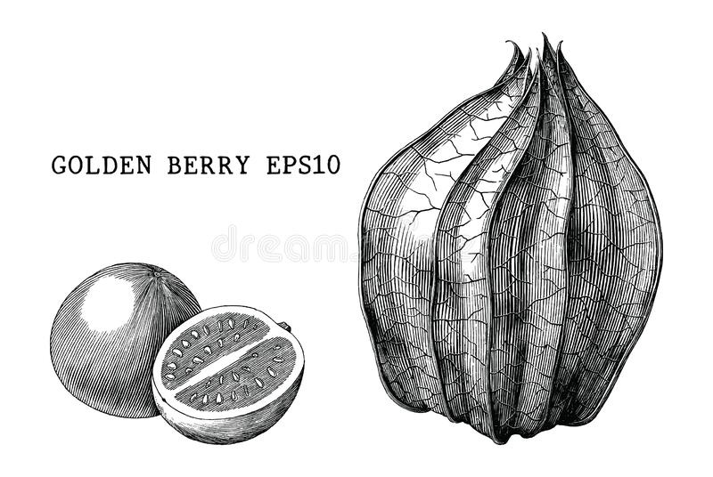 Golden berry vintage engraving illustration isolated on white background. Golden berry fruit vintage engraving illustration isolated on white background royalty free illustration
