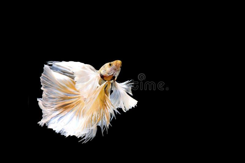 Golden Betta Siamese fighting fish, Betta splendens Pla-kad biting fish of Thailand, swimming motion on black isolated backgro royalty free stock images