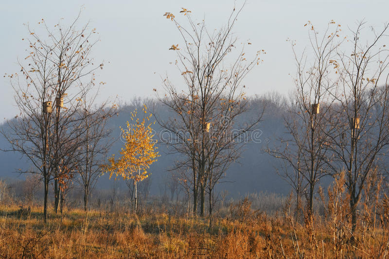 Golden birch. Lonely birch in the morning sun autumn morning royalty free stock photo