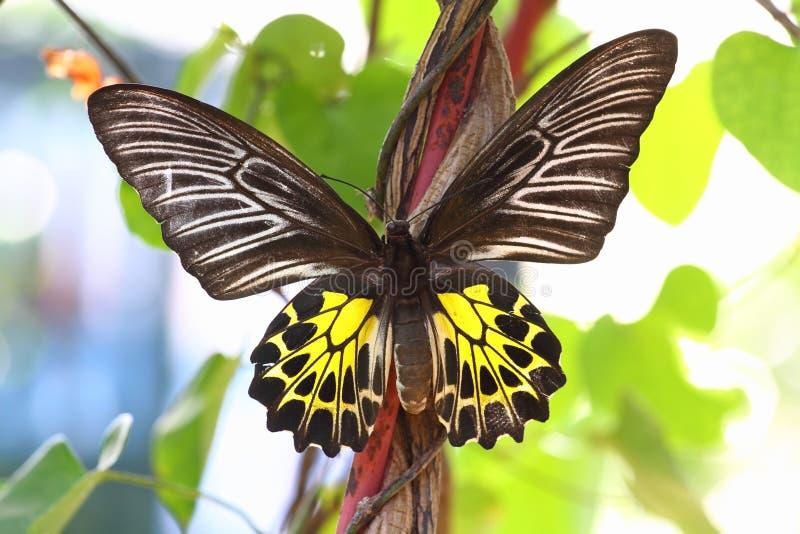 Golden Birdwing butterfly stock photography