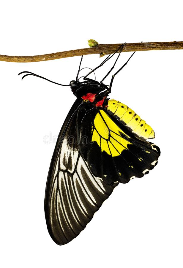 A golden birdwing butterfly, Triodes rhadamantus, on a branch isolated on white. A golden birdwing butterfly from the Philippines, Triodes rhadamantus, hanging royalty free stock photos