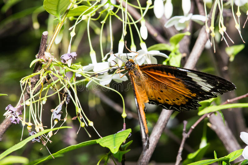 Golden birdwings butterfly. Golden Birdwing butterfly (Troides aeacus) perched on a leaf. Natural green background stock images