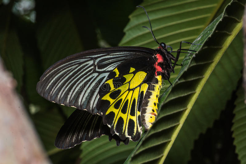 Golden birdwings butterfly. Golden Birdwing butterfly (Troides aeacus) perched on a leaf. Natural green background stock photo