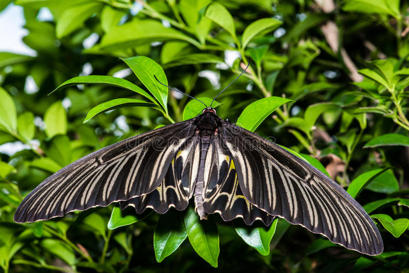 Golden birdwings butterfly. Golden Birdwing butterfly (Troides aeacus) perched on a leaf. Natural green background royalty free stock photos
