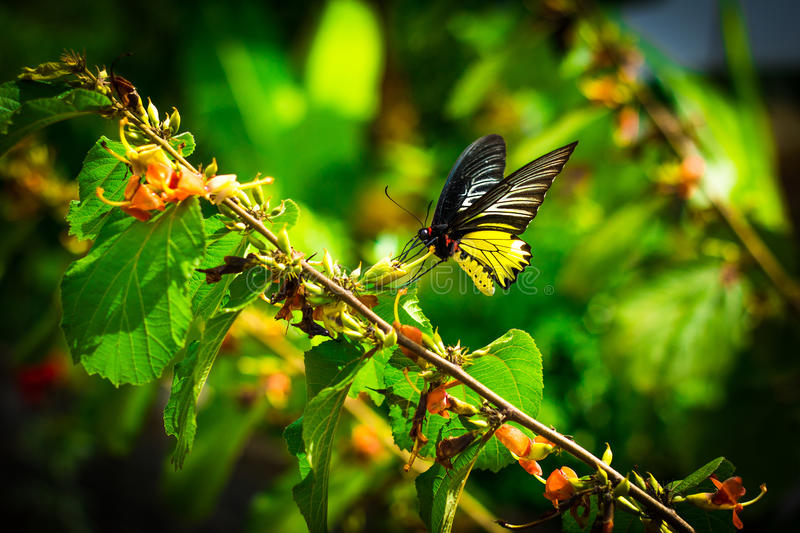 Golden birdwings. A butterfly in the family Papilionidae with large wings. The flight time is like a bird but it is slow so it is called the Golden birdwings royalty free stock images