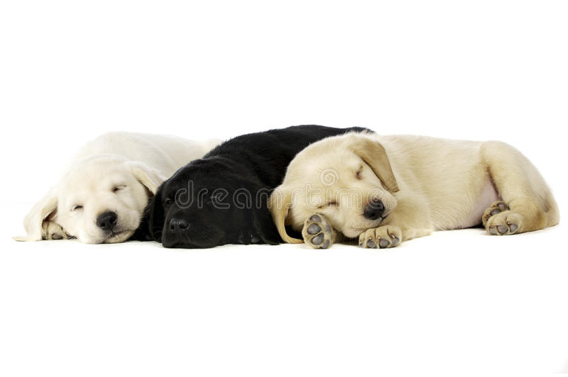 Golden and black Labrador Puppies royalty free stock image