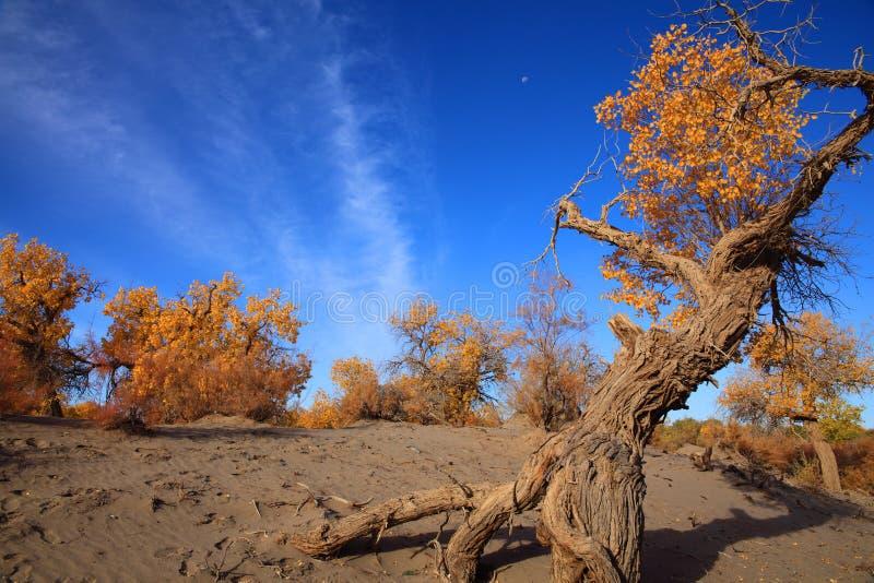 Golden black poplars in autumn royalty free stock photos