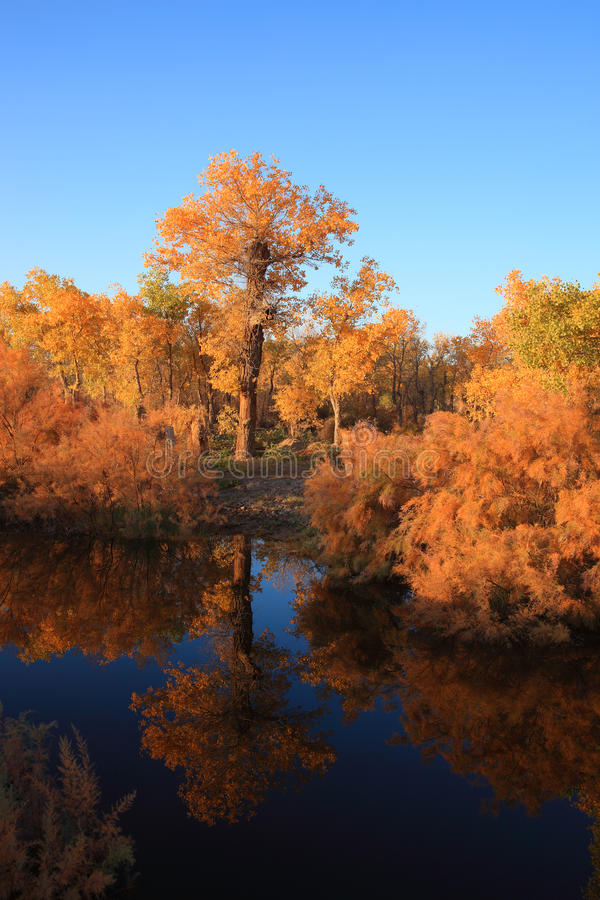 Golden black poplars by the river royalty free stock images