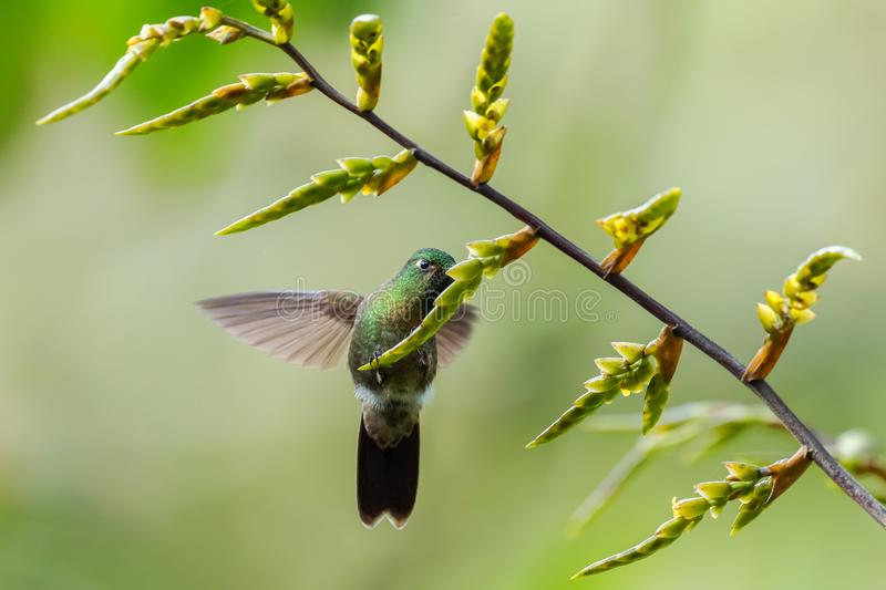 Golden-breasted Puffleg - Eriocnemis mosquera stock photography